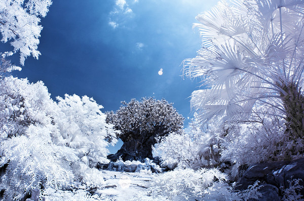 It becomes apparent that the Tree of Life at Disney's Animal Kingdom is a man-made structure in this infrared photo of it! More infrared Disney photos: http://www.disneytouristblog.com/photos-of-snow-in-disney-infrared-photography-disneyland-walt-disney-world/